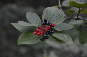 padògna (pianta co le parónble)